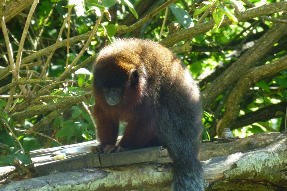 Un titi, singe qui vit dans les forêts tropicales d'Amérique du Sud