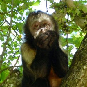 Un capucin à poitrine jaune dans un arbre
