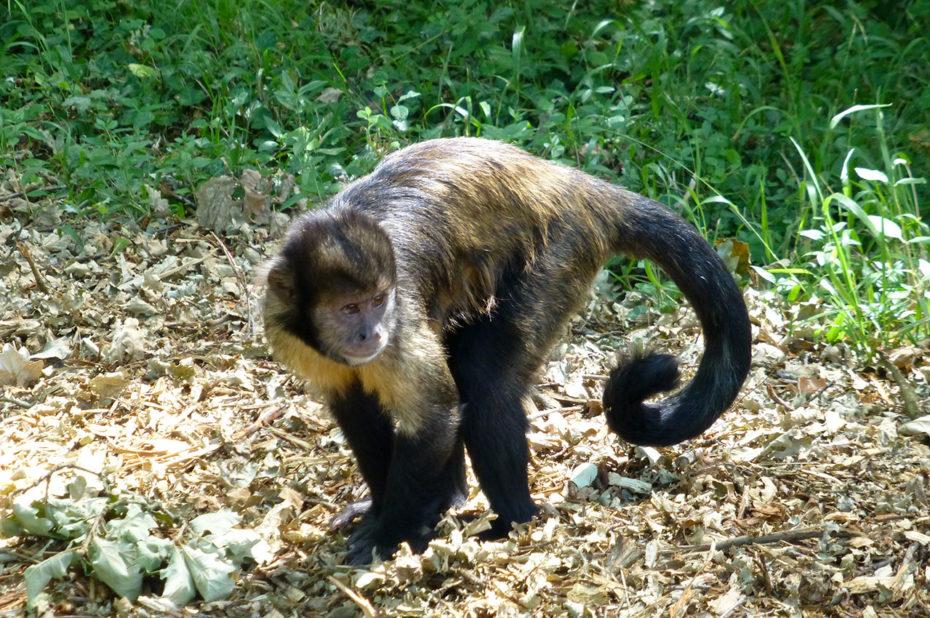 Le capucin est très observateur de son environnement