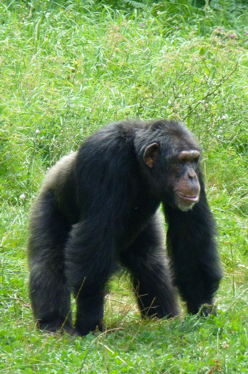 Un chimpanzé attend l'heure du repas