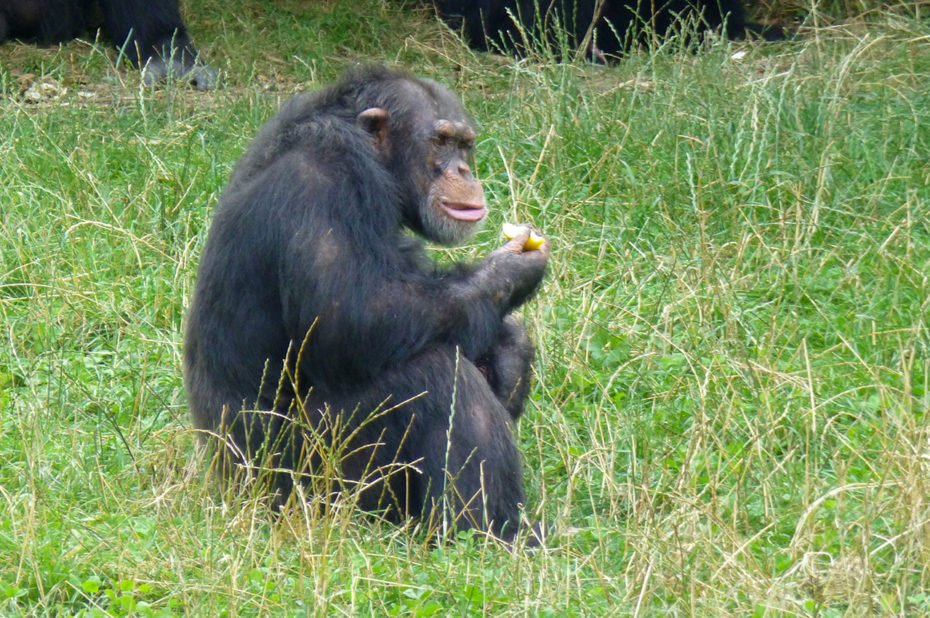 Un chimpanzé dégustant des fruits