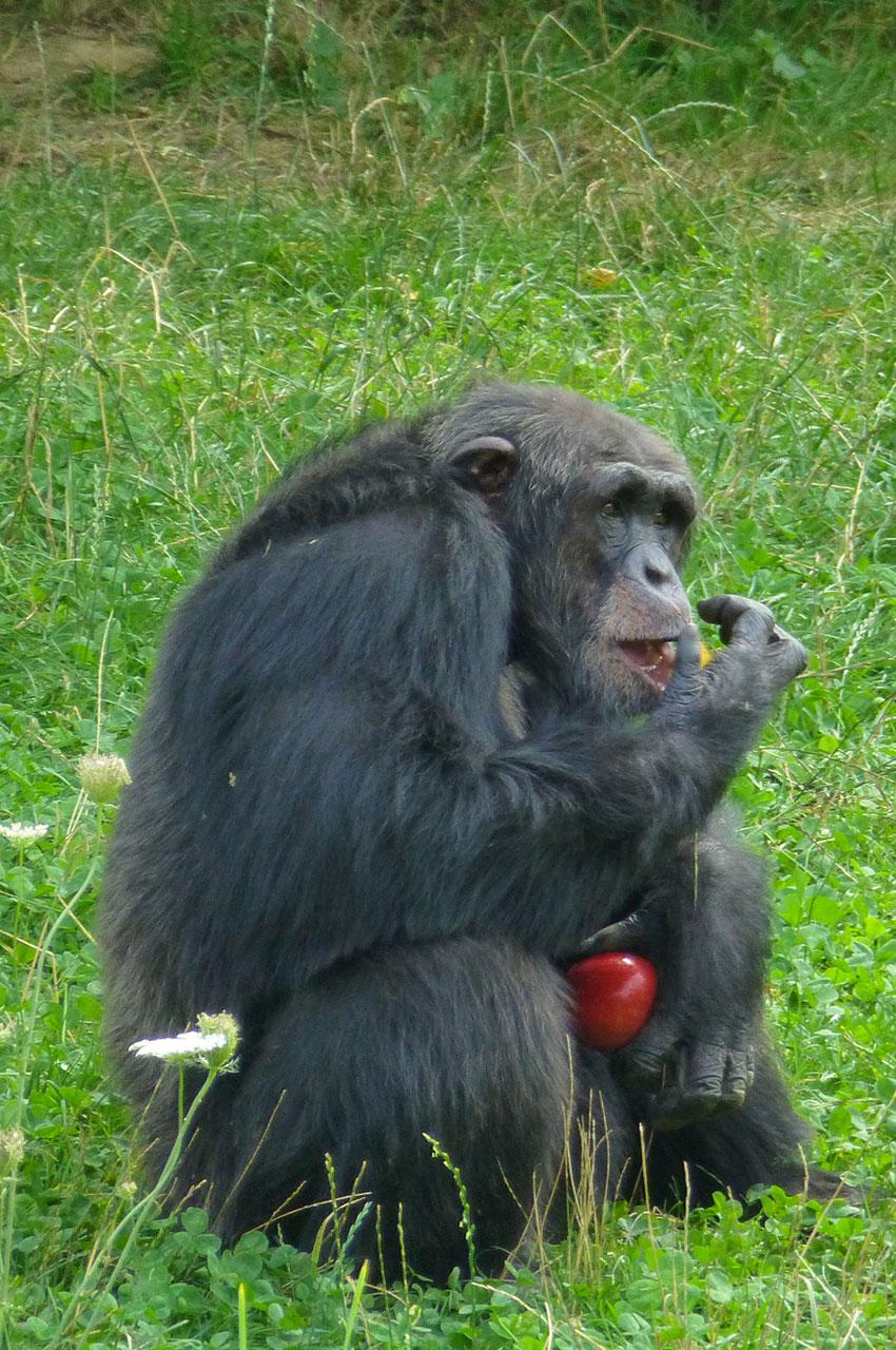 Les chimpanzés sont très friands de fruits