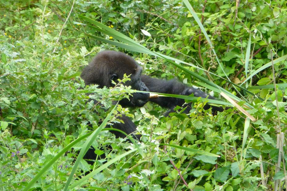 Un gorille se cache dans les branches touffues