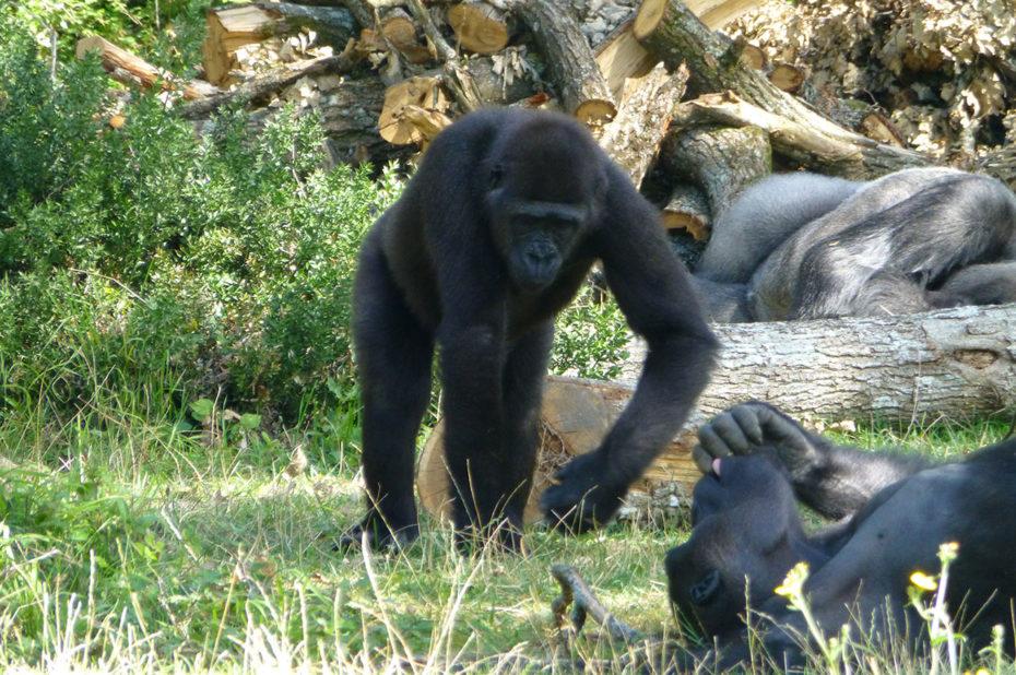 Les gorilles jouent et se reposent