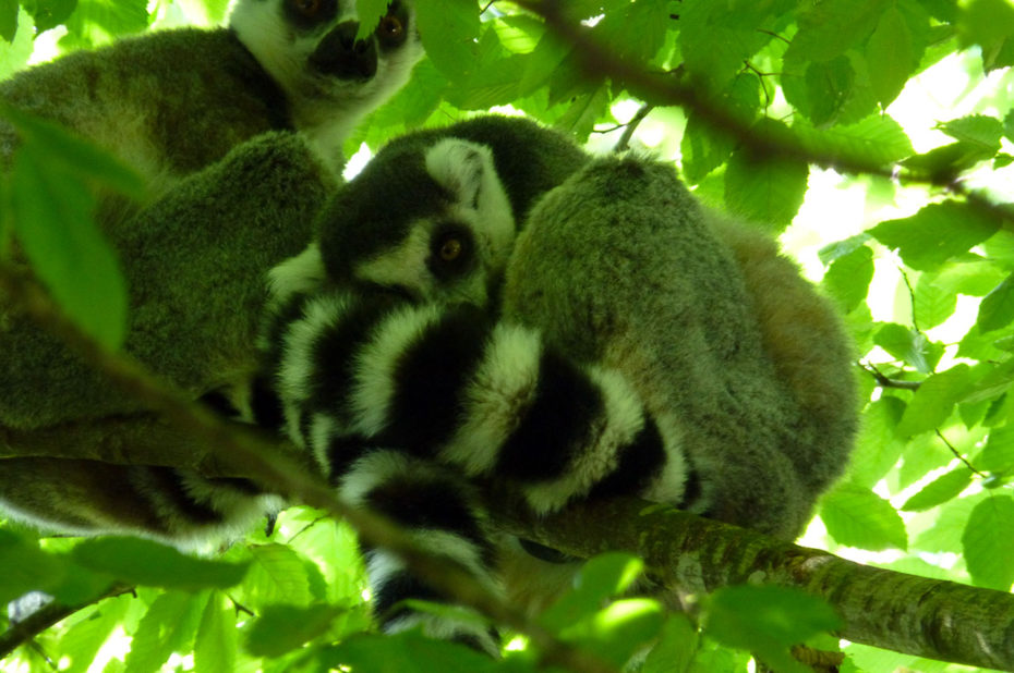 Maki catta, lémurien de Madagascar