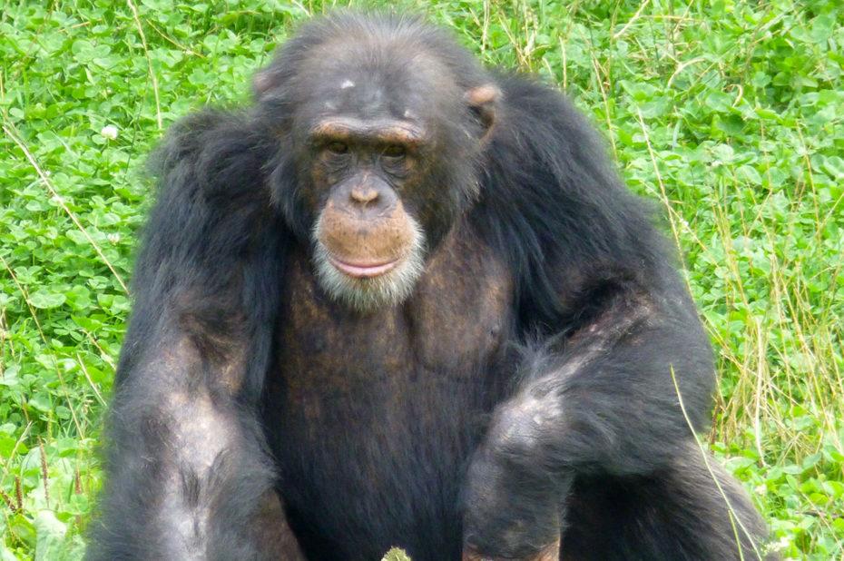 La sagesse incarnée chez ce vieux chimpanzé