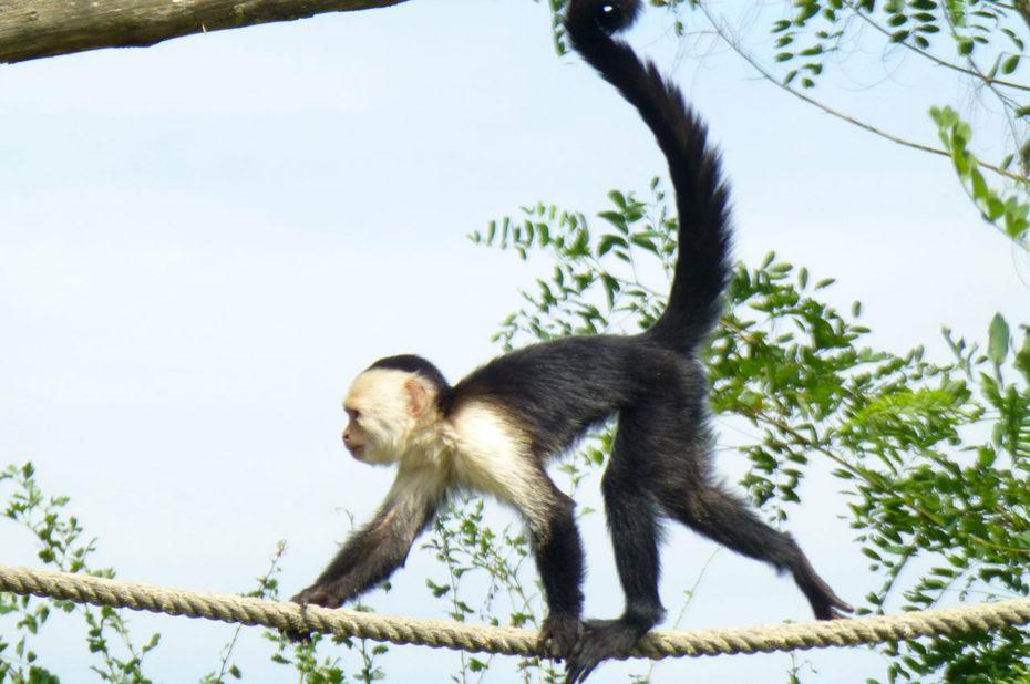 Les singes sont de sacrés équilibristes