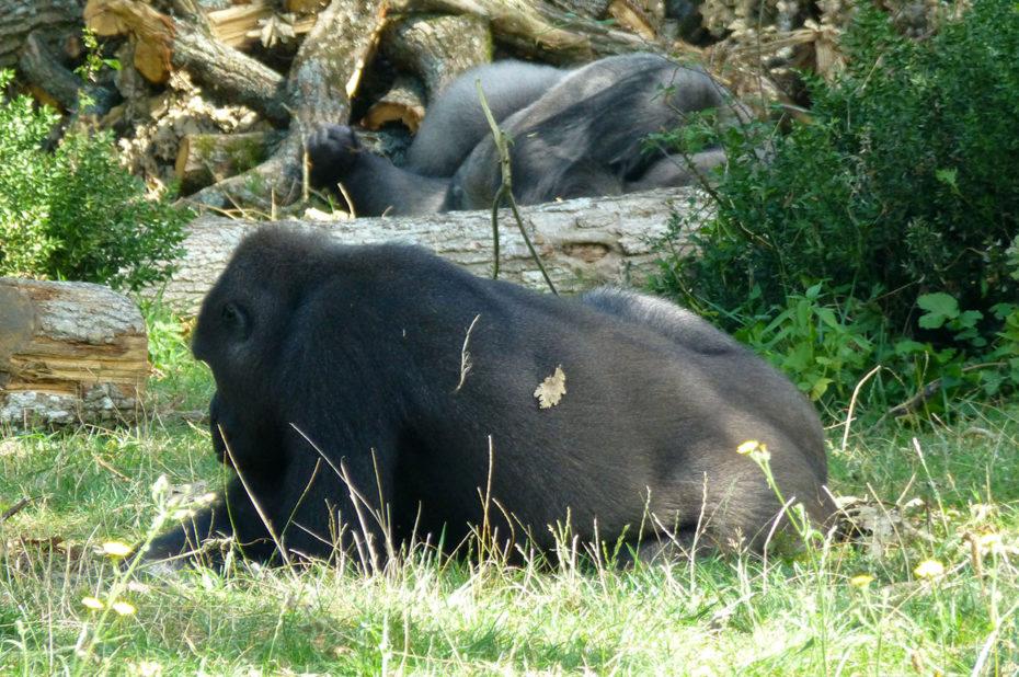 Sur le territoire des gorilles