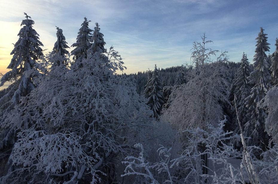 Les arbres recouverts de givre dans la forêt de Nordmarka