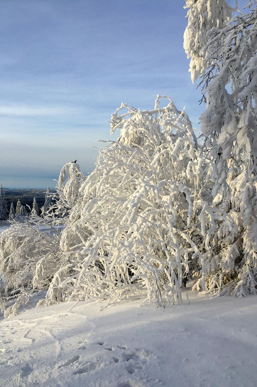 Des arbres complètement givrés par le froid