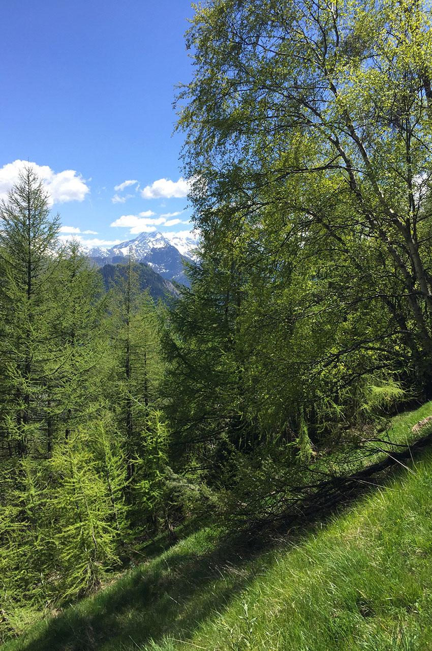 Bouleaux et mélèzes au bord du chemin panoramique