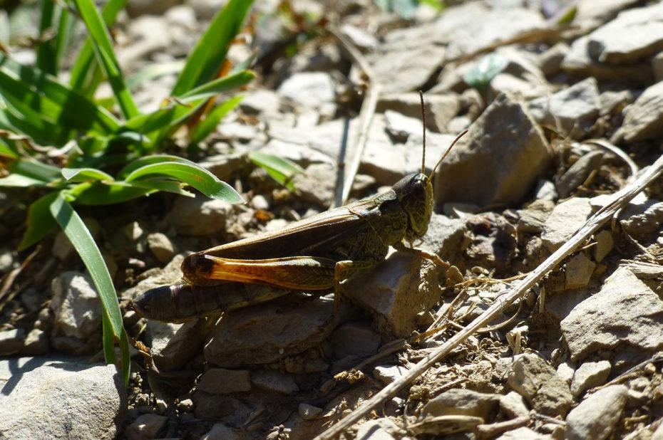 Un criquet, Arcyptera fusca