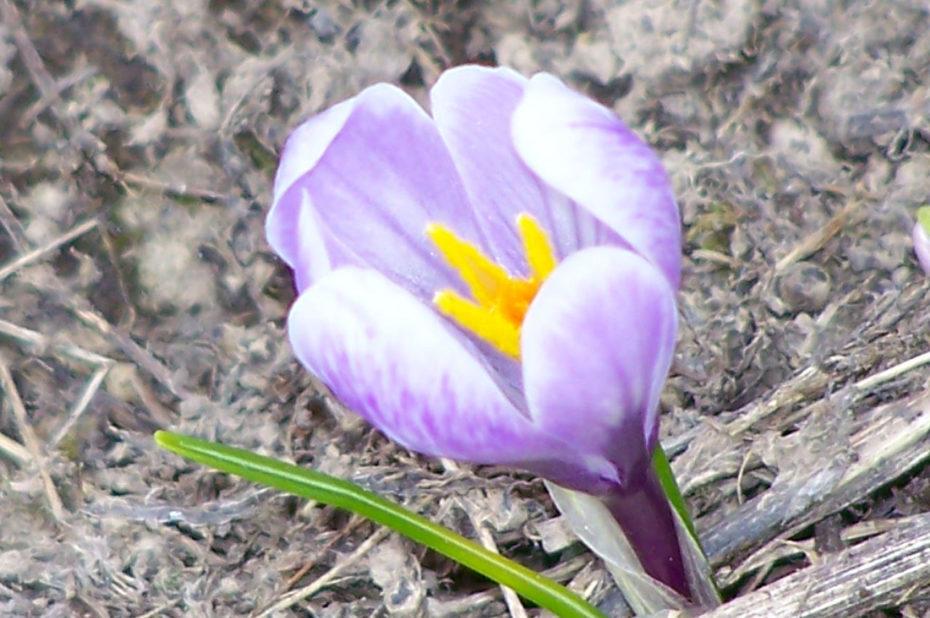 Crocus des Alpes | fleur violette