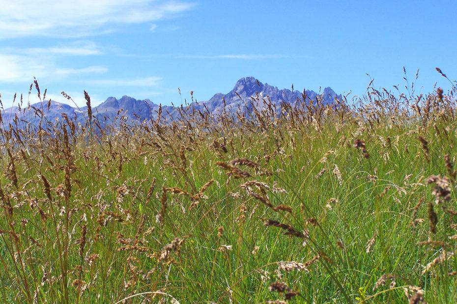 Hautes herbes dans un pré sur les hauteurs de Villard Reculas