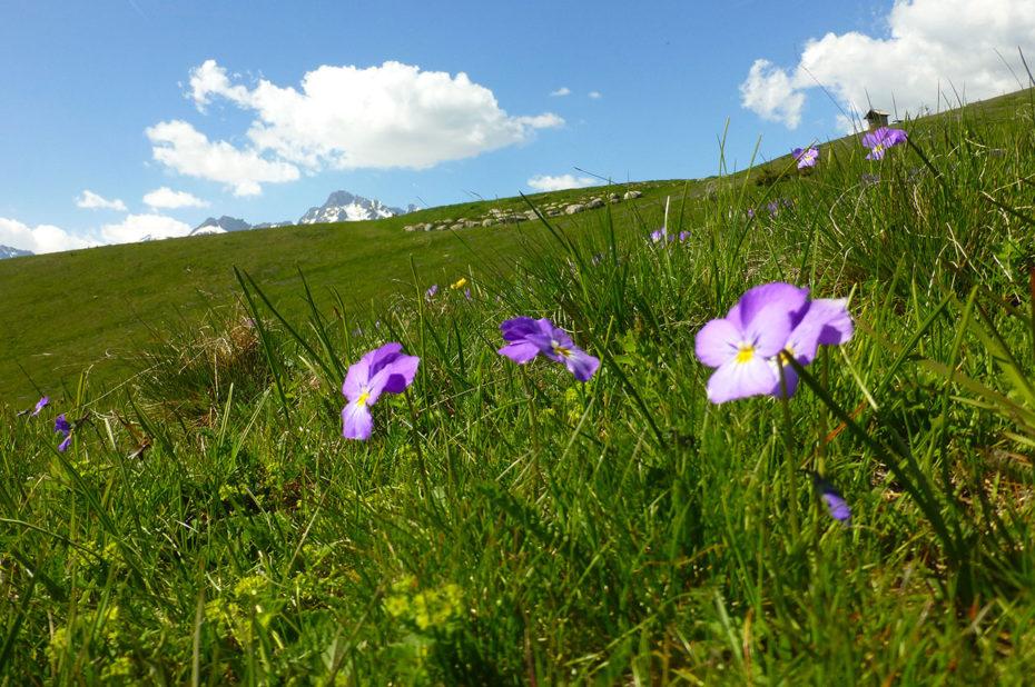 Fleurs dans les prés sur les hauteurs de Villard Reculas