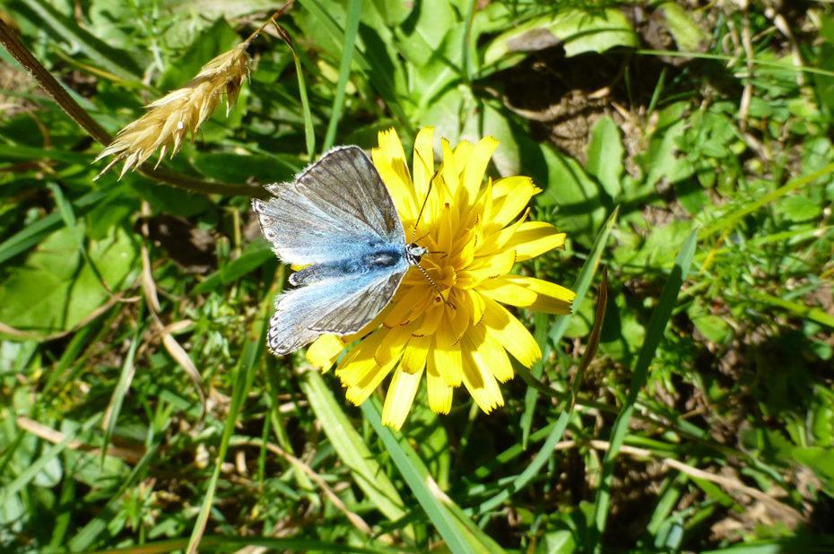 Papillon bleu des Alpes posée sur une fleur jaune