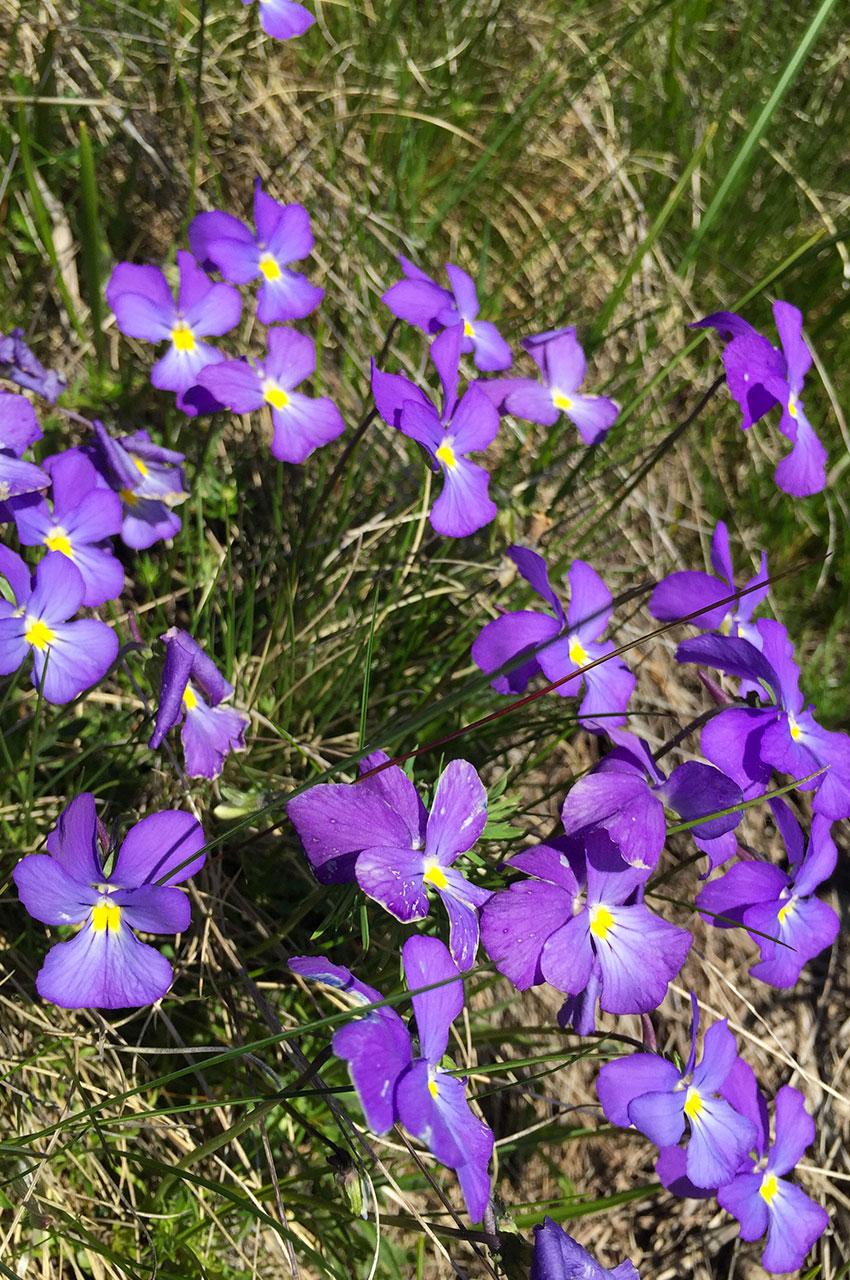 Pensée des Alpes ou violette éperonnée