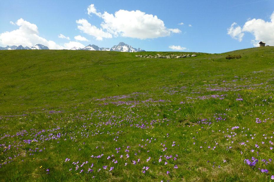 Pré couvert de pensées des Alpes
