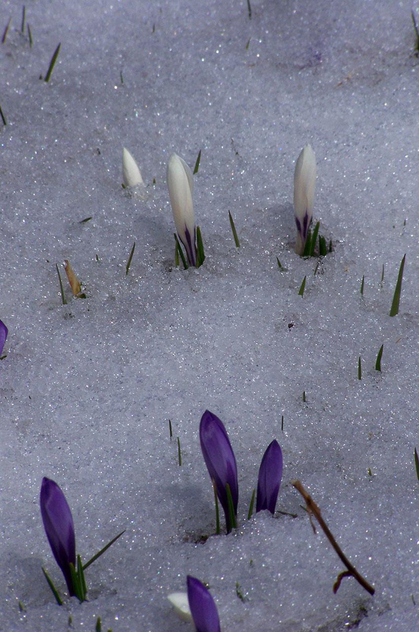 Les premières fleurs percent la fine couche de neige