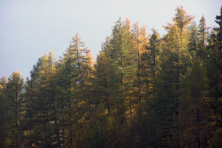 Sapins orangés devant la brume d'automne
