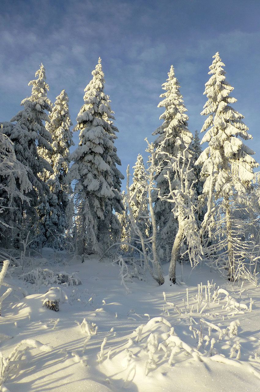 Un soleil timide sur les sapins de la forêt de Nordmarka
