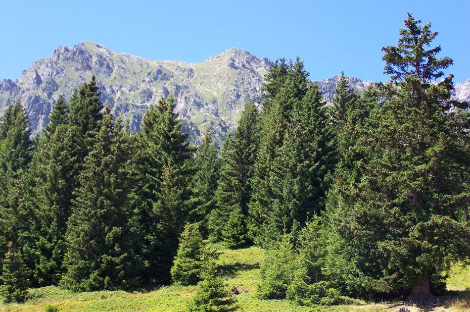 De nombreux conifères pour la randonnée au lac de Belledonne