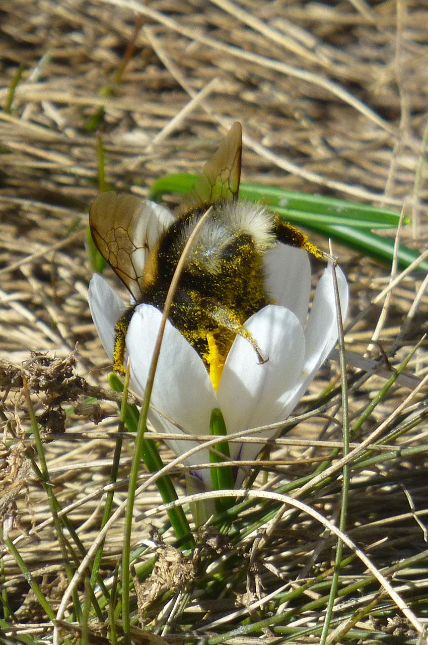 Un bourdon plongeant la tête la première dans une fleur