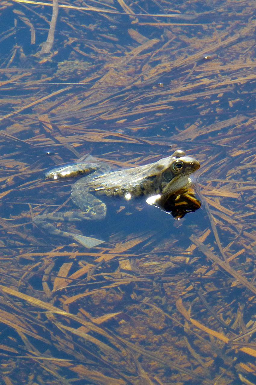 Grenouille dans l'eau du Lac Noir