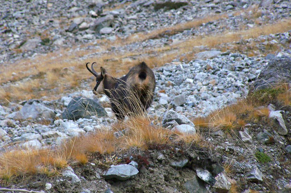 Magnifique chamois gambadant dans la montagne