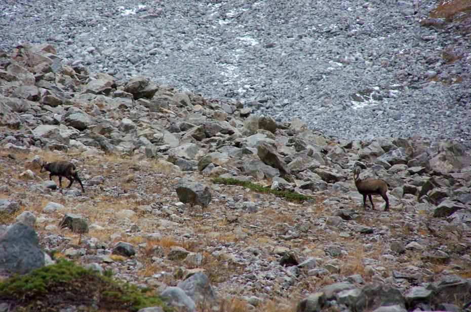 De nombreux chamois dans les rochers
