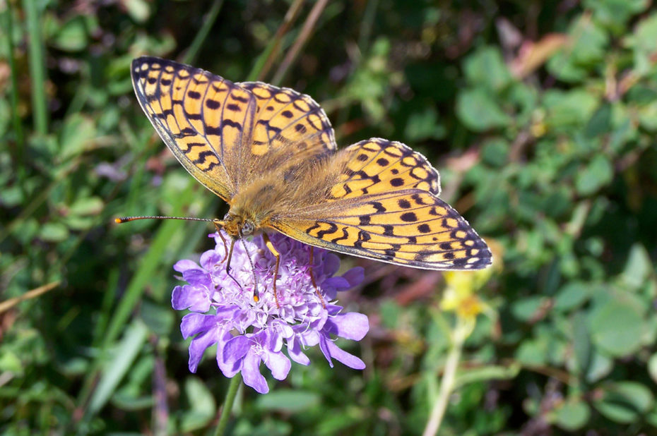 Papillon mélitée sur une fleur