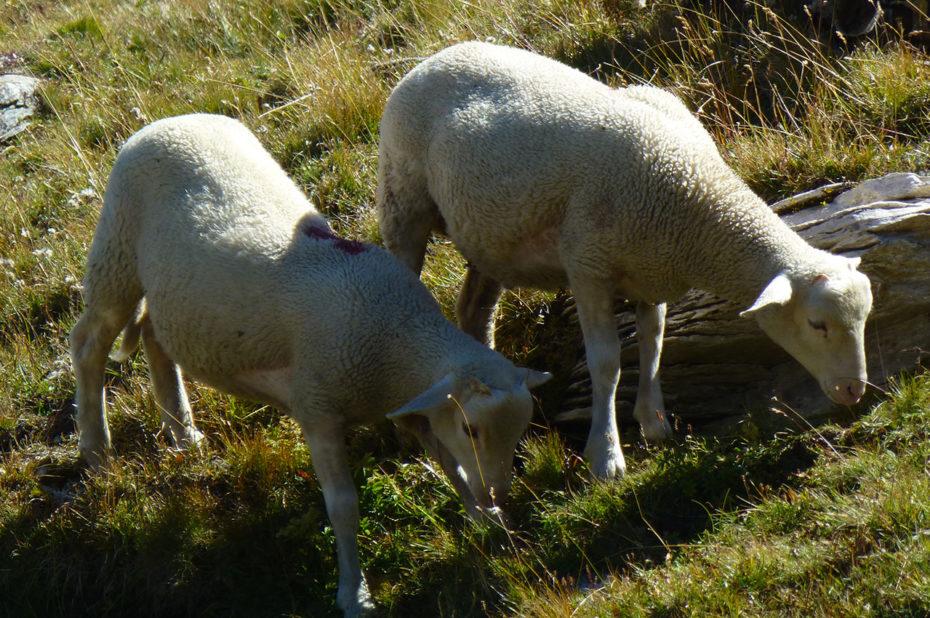 Deux brebis broutant les herbes hautes du plateau d'Emparis