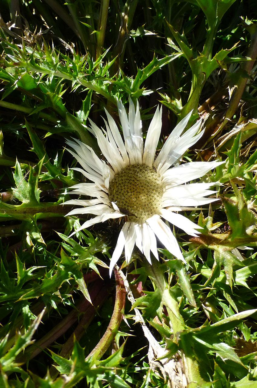 Carline blanche (fleur)