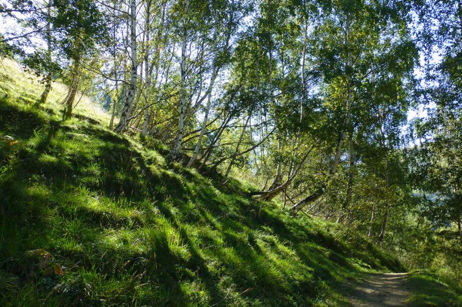Le chemin de randonnée passe à travers les bouleaux lors de la montée
