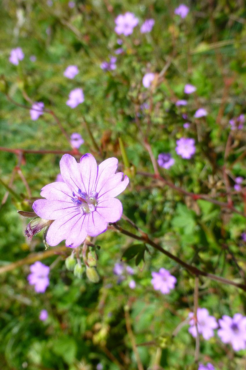 Géranium à fleurs de mauve ou geranium malviflorum