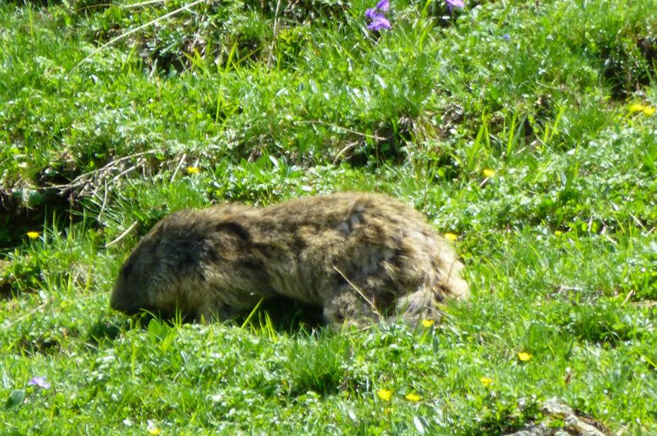 Marmotte dans une prairie non loin du lac de la Muzelle