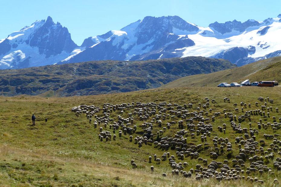 Des milliers de brebis évoluent en été dans un décor somptueux