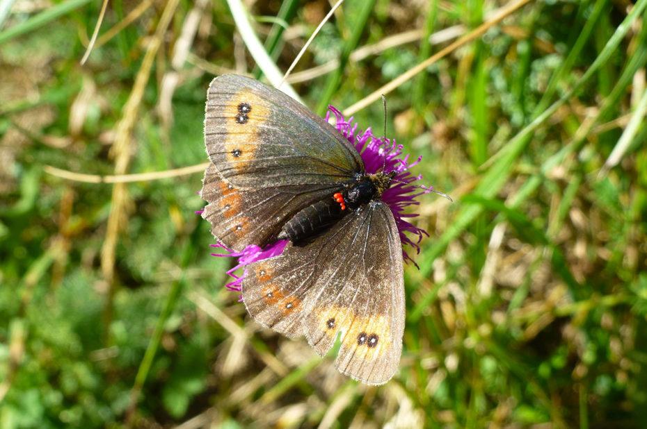 Un moiré (papillon) posé sur une fleur