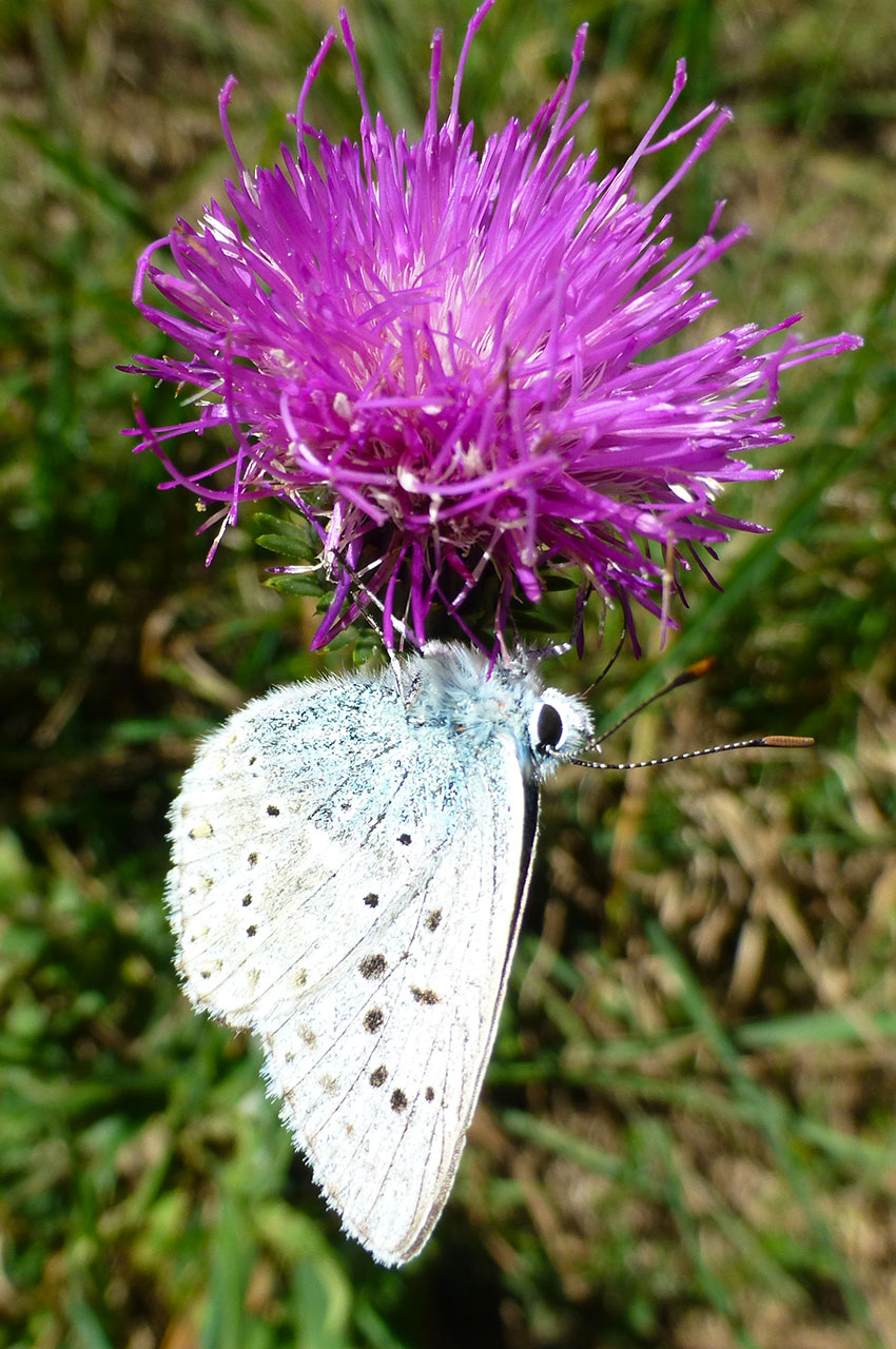 Papillon posé à l'envers sur une fleur rose