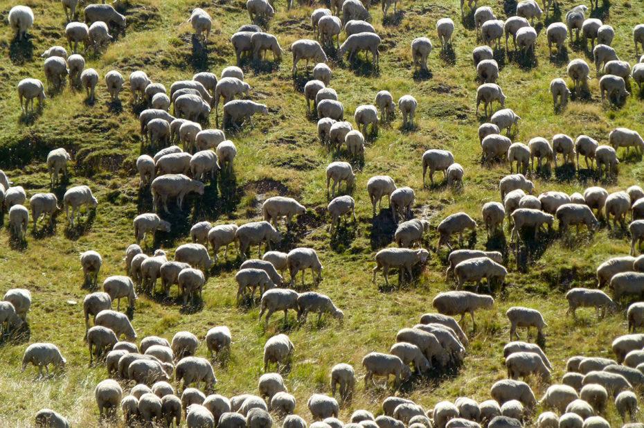 Un troupeau de 30000 brebis sur le plateau d'Emparis