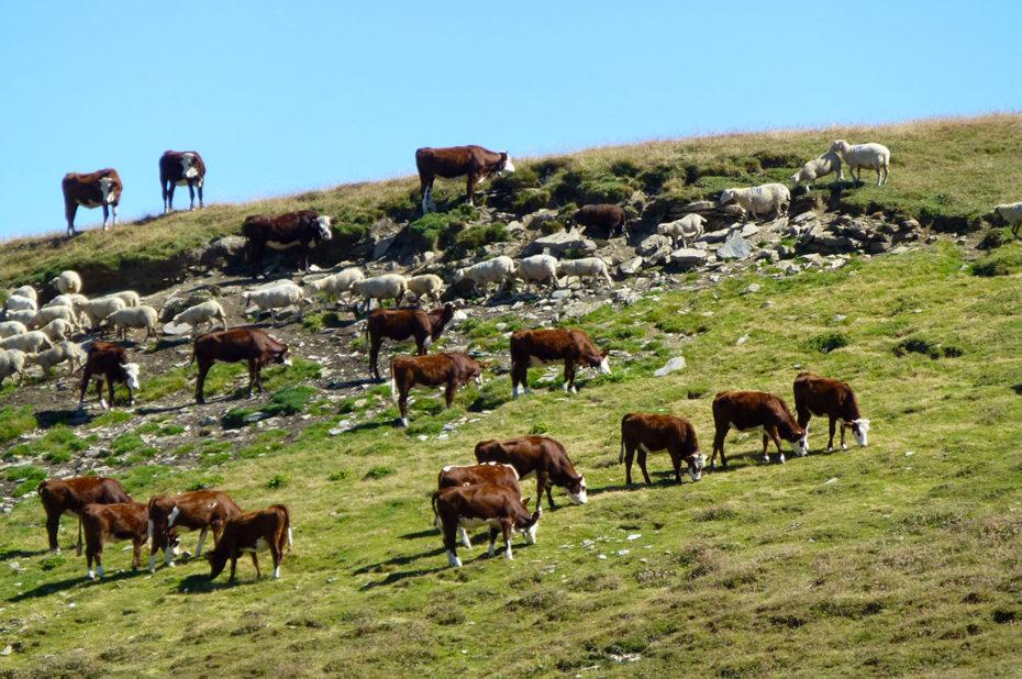 Un troupeau de vaches croise un troupeau de brebis