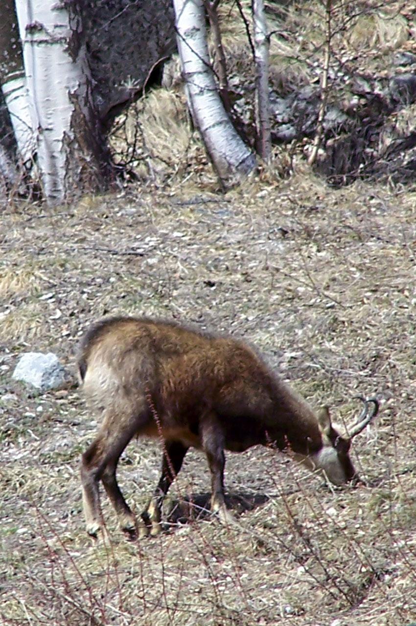 Un chamois à proximité du village de Vénosc