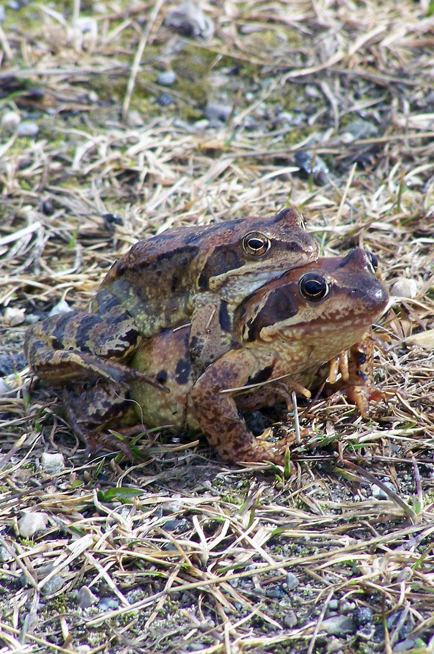 Deux grenouilles bien occupées