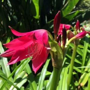 Amaryllis rouge