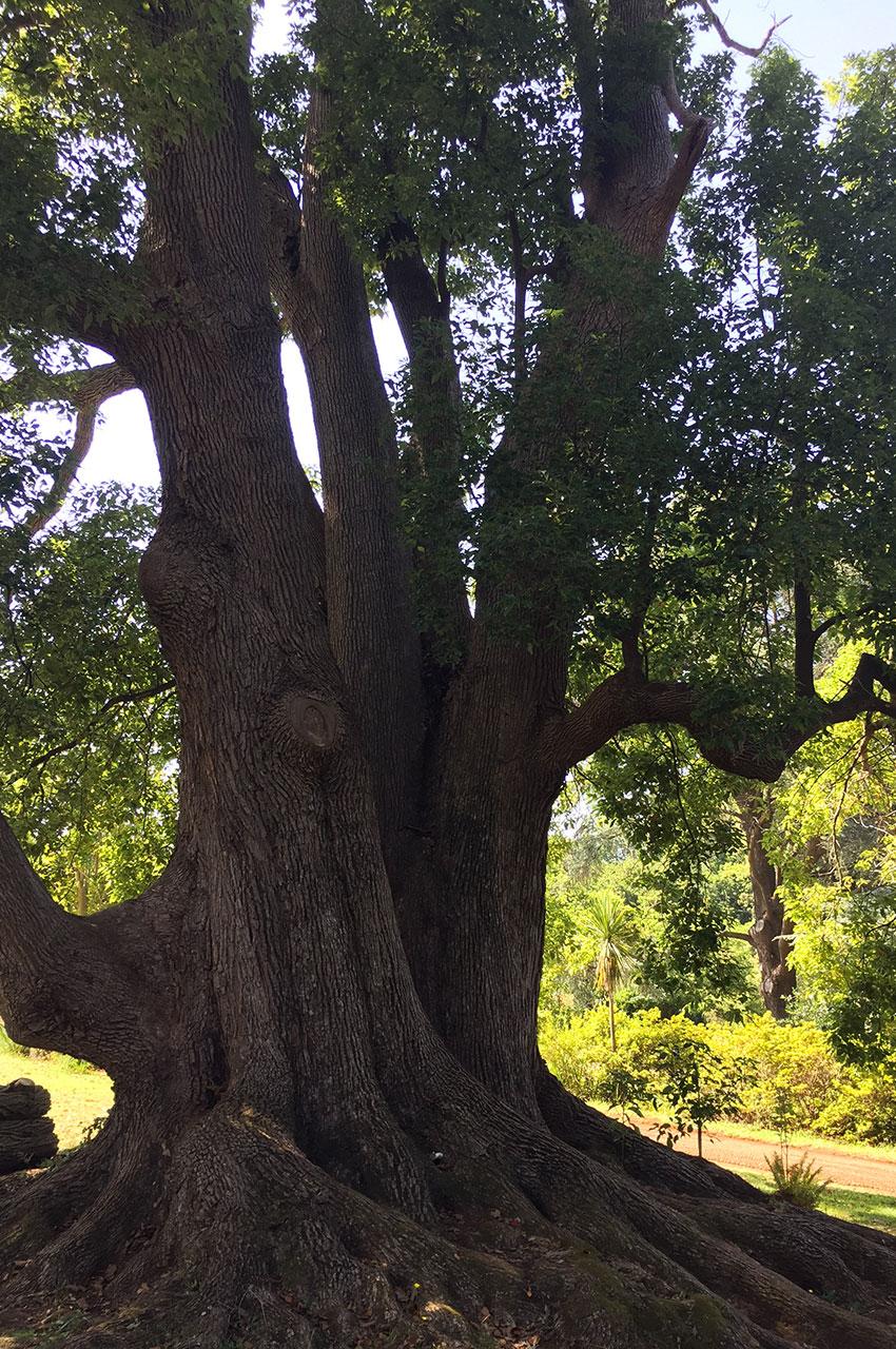 Arbre probablement centenaire dans les jardins de Palheiro