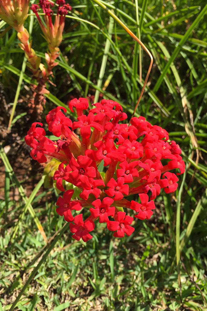 Belles petites fleurs rouges de Madère