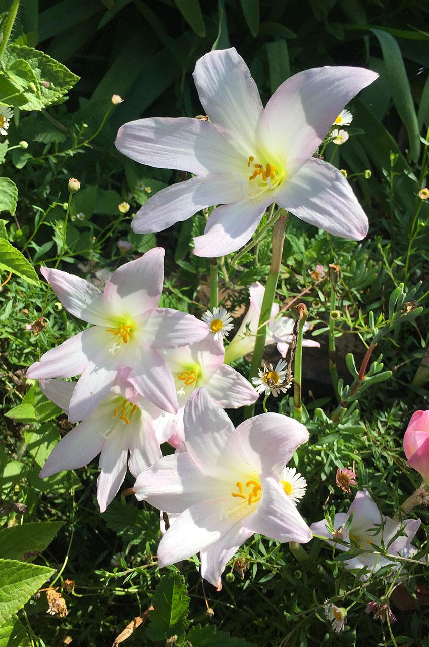 Crinum moorei, fleur de Madère