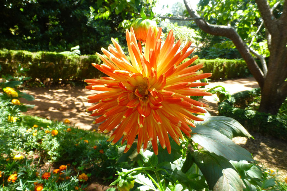 Dahlia commun orange et jaune