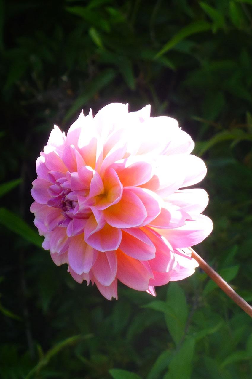 Dahlia commun rose