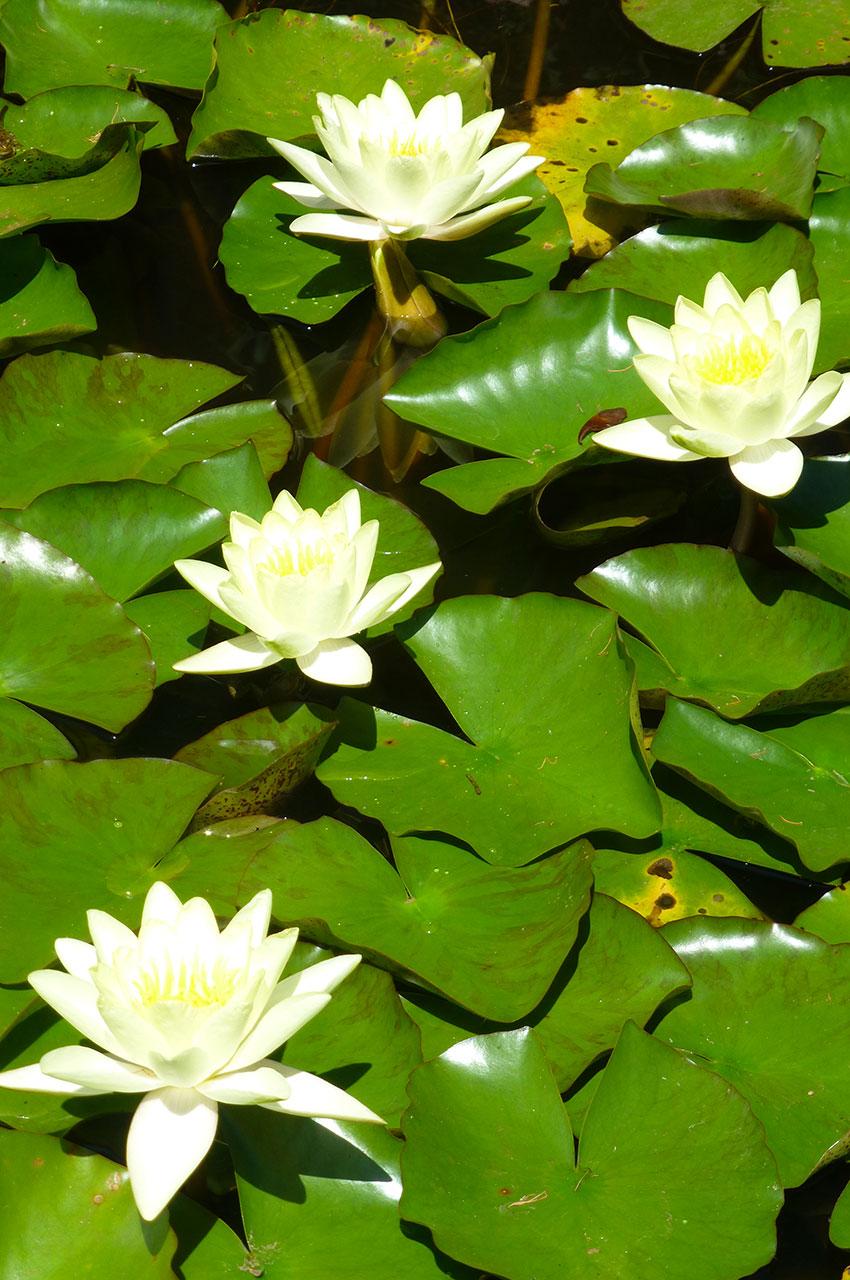 Fleurs de nénuphars qui flottent sur l'eau